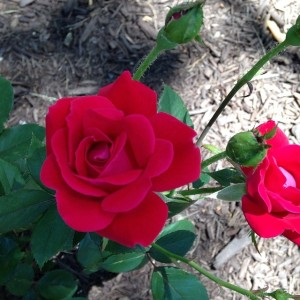Angela's Roses JUN 2014